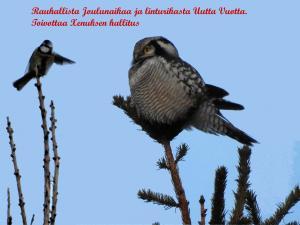 Hiiripöllö ja sinitiainen Kemi 18.12.2018 Seppo Mäkitalo