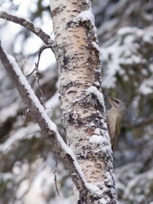 Harmaapäätikka Kemi Lallinperä (Raimo Koskenkorva) 6.1.2015
