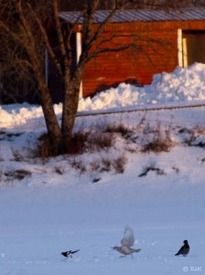 Grönlanninlokki Tornio (Raimo Koskenkorva) 21.1.2017