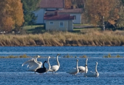 Mustajoutsen Tornio Karunginjärvi (Seppo Kemppainen) 29.9.2007